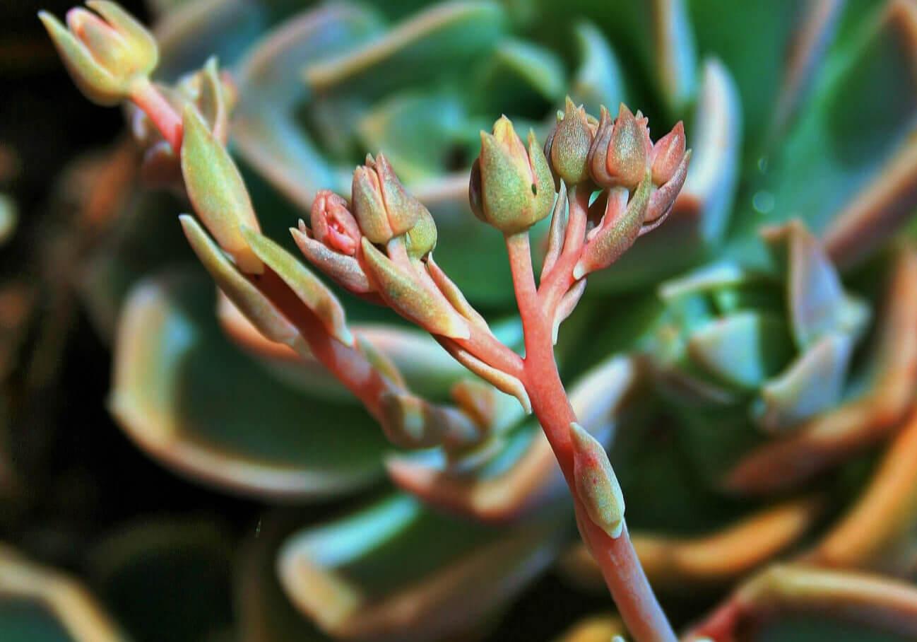 succulent rose buds